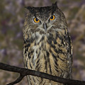 Owl by Michele A Loftus