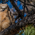 Owlet In A Fir Tree by Dawn Key