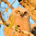 Owlet In A Spring Sunrise by Nicole Belvill