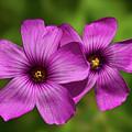Oxalis Flowers by Pete Hemington