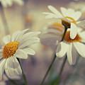 Oxeye Daisy Flowers by Haakon Nygård
