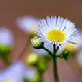 Oxeye Daisy - Paint by Steve Harrington