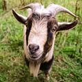 Oxford Goat by Alex Blondeau
