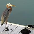 P1104117 Great Blue Heron by Stephen Ham