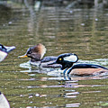 Pa And Ma Hooded Mergansers by Marland Howard