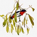 pa TonyOliver AustralianBirds 13 MistletoeBird Tony Oliver by Eloisa Mannion