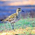 Pacific Golden Plover - 2 by Mary Deal