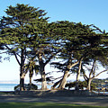 Pacific Grove Cypress Grove by Maggie Cruser