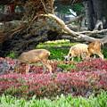 Pacific Grove Deer Feeding by Joyce Dickens