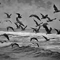Pacific Gulls by Laura Macky