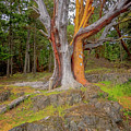 Pacific Madrone Tree by Tom Singleton