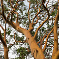 Pacific Madrone Trees by Robert Potts