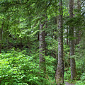 Pacific Northwest Forest by Cascade Colors