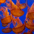 Pacific Sea Nettle Cluster 1 by Scott Campbell