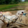 Pacu Jawi Bull Race Festival by Pradeep Raja Prints