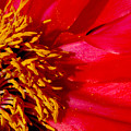 Paeonia 1 by Lyn  Perry