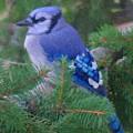 Painted Blue Jay  by Thomas  MacPherson Jr
