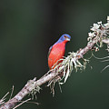 Painted Bunting Curiosity by JG Thompson