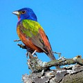 Painted Bunting by Dennis Nelson