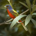 Painted Bunting Male by Phill Doherty