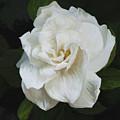 Painted Gardenia by Phyllis Denton