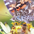 Painted Lady Butterfly With Bee Foreground by Brian Hale