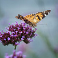 Painted Lady by Claudia Kuhn
