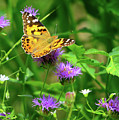 Painted Lady by Greg Norrell