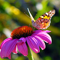 Painted Lady by Jan  Tribe