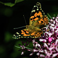Painted Lady by Jay Stockhaus
