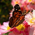 Painted Lady by Kathryn Meyer