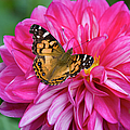 Painted Lady On Dahlia by Charles Harden