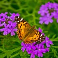 Painted Lady On Purple Verbena by Michael Tidwell