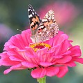 Painted Lady On Red Zinnia 3  by Lynne Miller