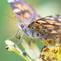 Painted Lady Proboscis 1 by Brian Hale