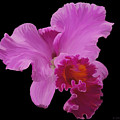 Painted Orchid by Phyllis Denton