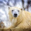 Painted Polar Bear  by LeeAnn McLaneGoetz McLaneGoetzStudioLLCcom