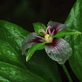 Painted Trillium In The Rain by Harry Moulton