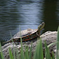 Painted Turtle by Ben Upham III