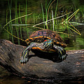 Painted Turtle Sunning Itself On A Log by Randall Nyhof