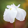 Painted White Iris In Late Afternoon Light by Anita Pollak