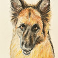 Painting Of A German Shepherd by Kate Sumners