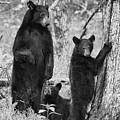 Paintography - Mother Bear Looking At One Of Cubs Bears In The Woods by Dan Friend