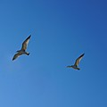 Pair In Flight by Colleen Fox
