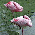 Pair In Pink by Mary Haber