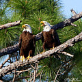 Pair Of American Bald Eagle by Barbara Bowen