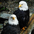 Pair Of American Eagles by Claudia Abbott