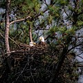 Pair Of Bald Eagles In Nest by Warrena J Barnerd