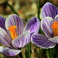 Pair Of Blooming Crocuses by Anita Hiltz