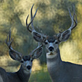 Pair Of Bucks by Ernie Echols